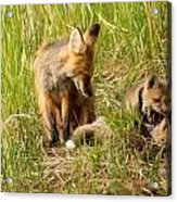 Mama Fox And Kits 2 Acrylic Print