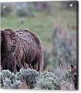 Mama Grizzly Guiding Cub Acrylic Print
