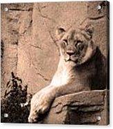 Mama Lion Acrylic Print