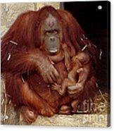 Mama N Baby Orangutan - 54 Acrylic Print