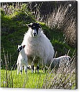 Mama Sheep And Her Two Lambs Acrylic Print