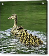 Mamas Peeps Are Not In A Row Acrylic Print