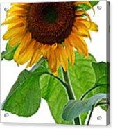 Mammoth Sunflower Acrylic Print