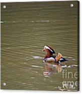 Mandarin Duck 20130507_47 Acrylic Print