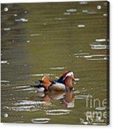 Mandarin Duck 20130507_99  Acrylic Print
