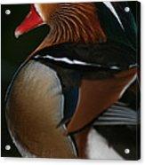 Mandarin Duck On Guard Acrylic Print