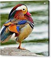 Mandarin Duck Posing Acrylic Print