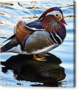 Mandarin Duck Acrylic Print by Robert Bales