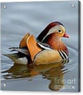Mandarin Duck Swimming Acrylic Print