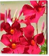 Mandevilla Named Sun Parasol Crimson Acrylic Print