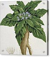 Mandragora Officinarum Acrylic Print by LFJ Hoquart