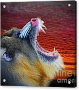 Mandrill Roaring At The End Of A Day  Acrylic Print