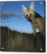 Maned Wolf Hunting At Dusk Brazil Acrylic Print