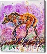 Maned Wolf Acrylic Print