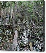 Mangrove 001 Acrylic Print