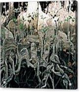 Mangrove Aerial Roots Acrylic Print
