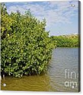 Mangrove Forest Acrylic Print by Carol Ailles