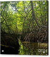 mangrove forest in Costa Rica 1 Acrylic Print