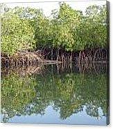 Mangrove Refelections Acrylic Print