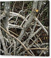 Mangrove Roots 1 Acrylic Print