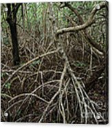 Mangrove Roots 2 Acrylic Print