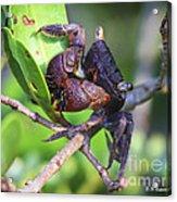 Mangrove Tree Crab Acrylic Print