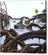 Mangrove Tree Roots Detail Acrylic Print by Dirk Ercken