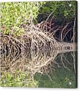 Mangroves In The Gambia Acrylic Print