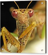 Mantis Dinner Acrylic Print by Walter Klockers