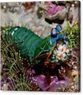 Mantis Shrimp (stomatopoda Acrylic Print