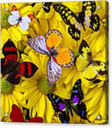 Many Butterflies On Mums Acrylic Print