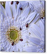Many Ladybugs On White Daisy Acrylic Print by Garry Gay