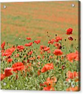 Many Poppies Acrylic Print