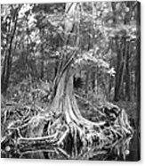 Many Roots Acrylic Print