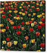Many Tulips Acrylic Print