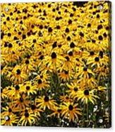 Many Yellow Blooms Acrylic Print
