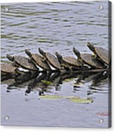 Map Turtles Acrylic Print