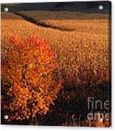 Maple And Cornfield At Dawn Acrylic Print