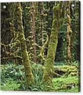 Maple Glade Quinault Rain Forest Acrylic Print