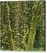 Maple Glade Quinault Rainforest Acrylic Print