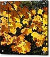 Maple Gold Acrylic Print