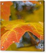 Maple Leaf Edges In Autumn Acrylic Print