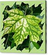 Maple Leaf In The Laurel Acrylic Print