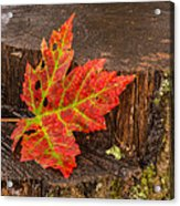 Maple Leaf On Oak Stump Acrylic Print