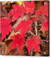 Maple Leaf Palette Acrylic Print