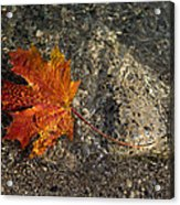 Maple Leaf - Playful Sunlight Patterns Acrylic Print