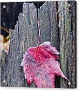 Maple Leaf - Uw Arboretum - Madison Acrylic Print