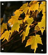 Maple Leaves - B Acrylic Print