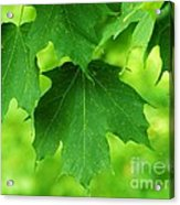Maple Leaves Acrylic Print