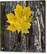 Maple-leaves Acrylic Print